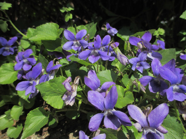 A group of edible weeds called wild violets with purple blossoms