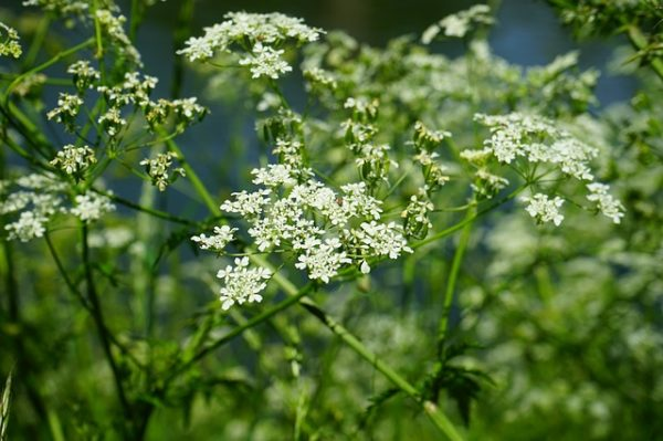 Chervil, a safe plant for cats