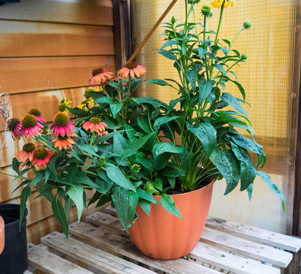 Growing echinacea in a container