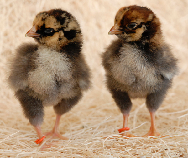 wyandotte chickens