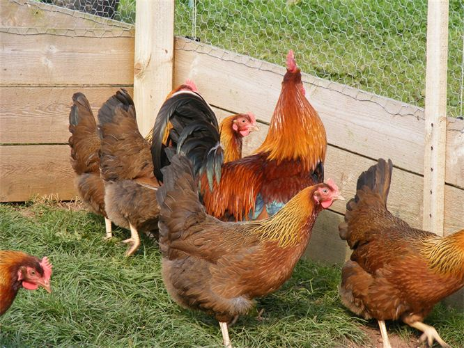 welsommer chickens
