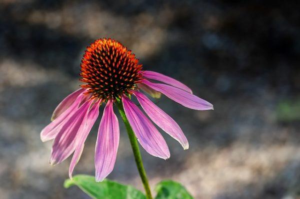 A growing echinacea flower
