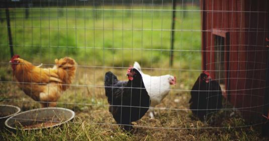 20 Money-Saving Chicken Care Hacks for Every Chicken Owner
